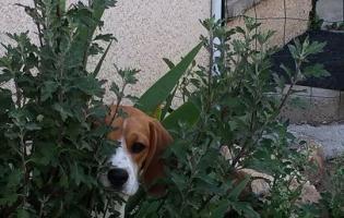 beagle chez ânima